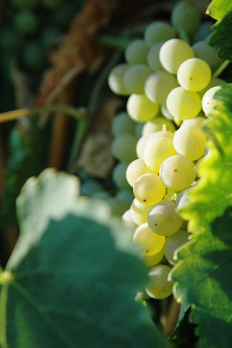 mucci imports vigne guadagno